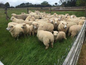 ムートンの原料の羊
