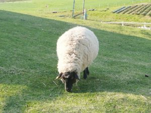 牧草を食べる羊