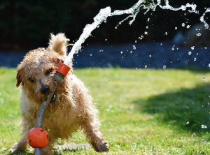 水の出るホースを咥える犬