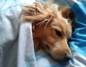 布団の上で寝る犬