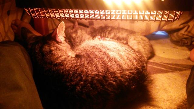 こたつの中で寝る猫