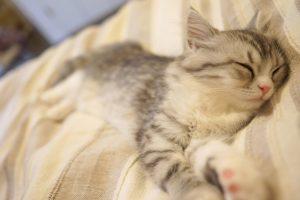 敷布団で寝るネコ