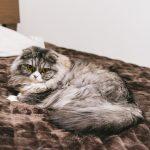 ベッドでくつろぐネコ